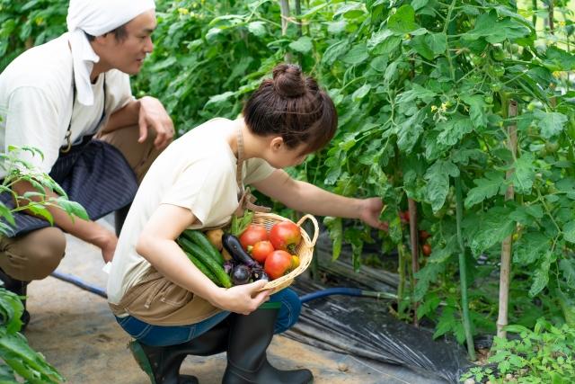 トマトを栽培する男女