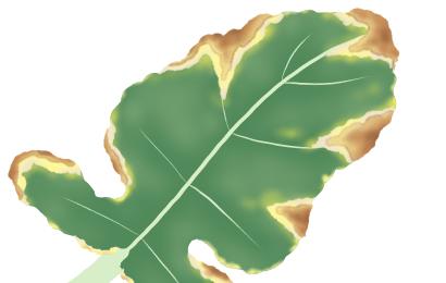 黒腐病におかされたブロッコリーの茎葉