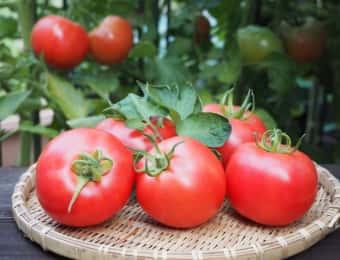 収穫したばかりの完熟トマト