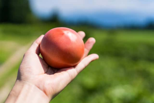 トマトを持った手