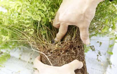 根鉢を分ける部分を確認