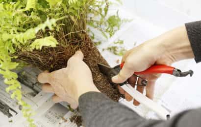 根鉢をはさみで切り分ける