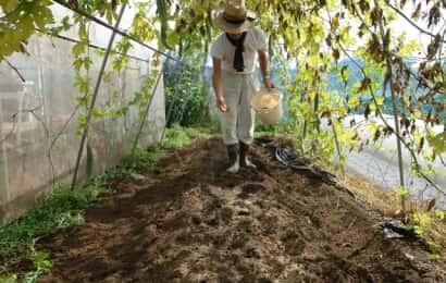 カリフラワーの土作り