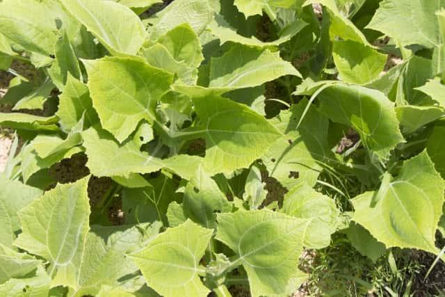 ヤーコンの葉