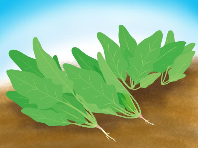 ホウレンソウ栽培のイラスト