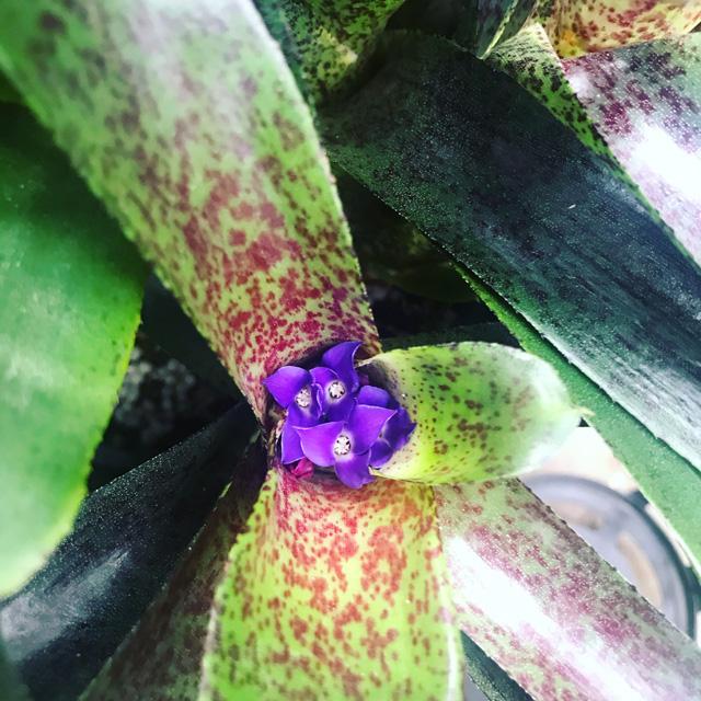 ネオレゲリア・ペッパーの花