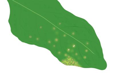 斑点病におかされたホウレンソウの茎葉