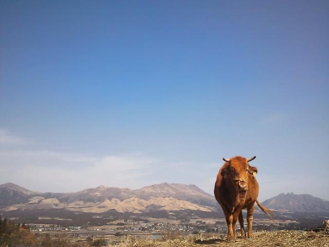 赤牛と阿蘇の風景