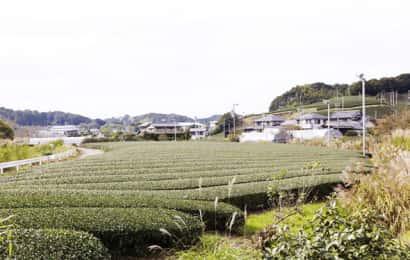 道路から見えるお茶畑