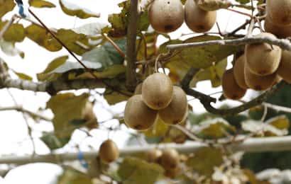 キウイフルーツの樹