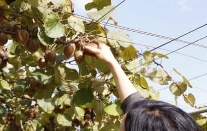 キウイフルーツの収穫