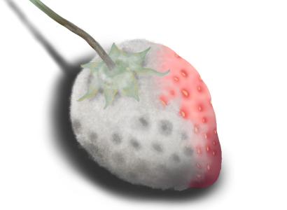 イチゴのカビ