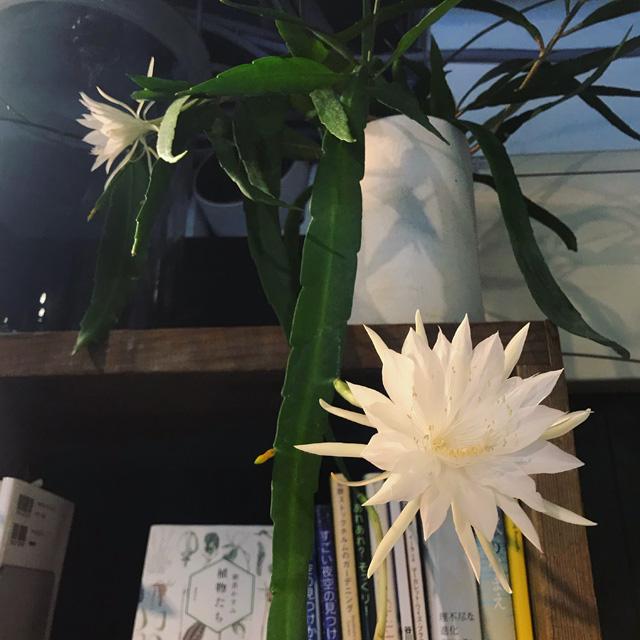 エピフィルム・プミラムの花