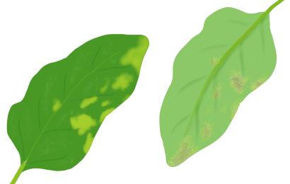 べと病におかされたホウレンソウの茎葉