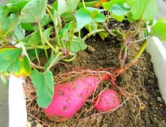 サツマイモのプランター栽培