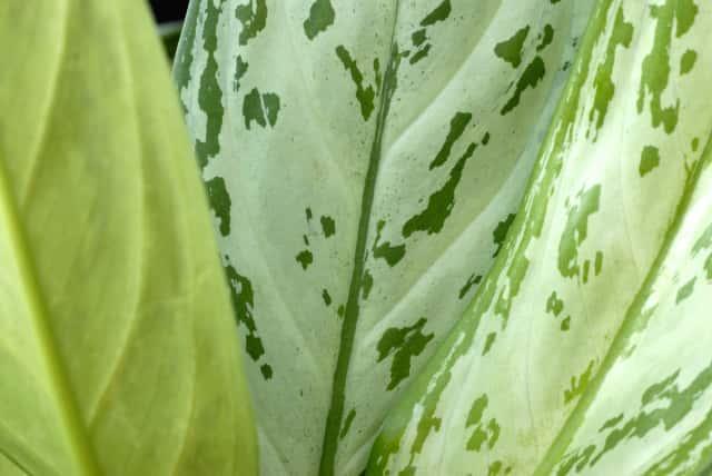 アグラオネマの葉