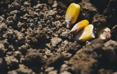 土の上のトウモロコシの種
