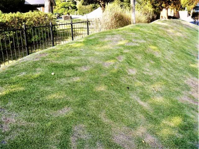 肥料焼けした芝生