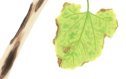 炭疽病におかされたカボチャの茎葉