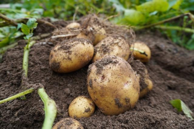 土の上のジャガイモ