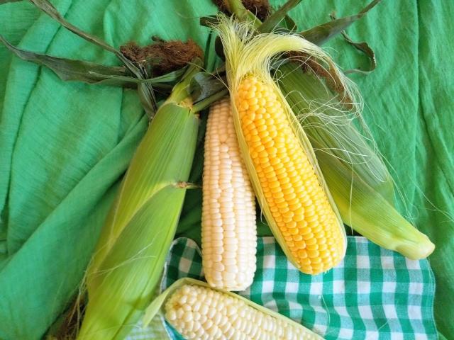 黄粒種と白粒種の二種類のトウモロコシ