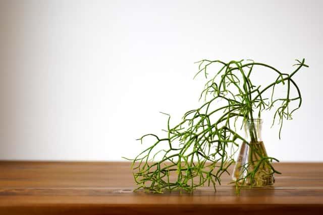 リプサリスの水耕栽培