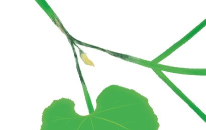 疫病におかされたカボチャの茎葉