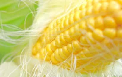 むきたて無農薬トウモロコシ