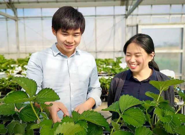 生産効率をアップさせるイチゴ立体栽培