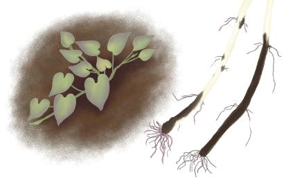 立枯病におかされたサツマイモの茎葉