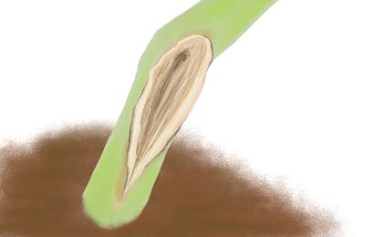 つる割病におかされたサツマイモの茎葉