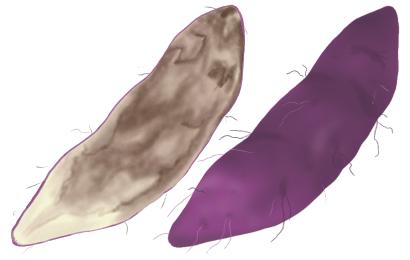 基腐病におかされたサツマイモ
