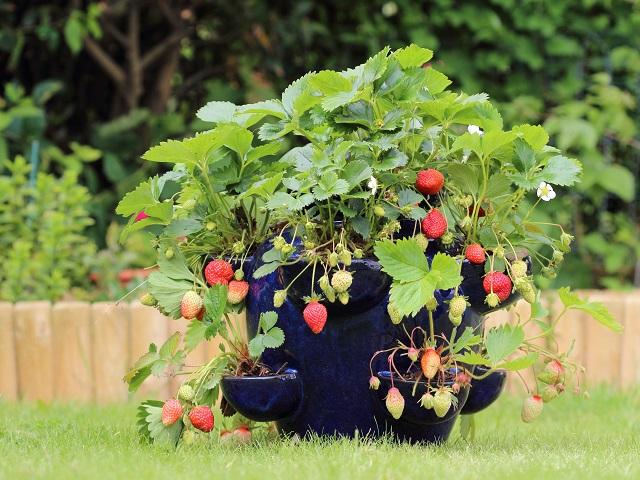 真っ赤な実がかわいいイチゴの育て方&楽しみ方【Garden Story連携企画】